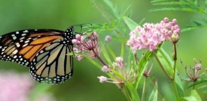 monarcafront