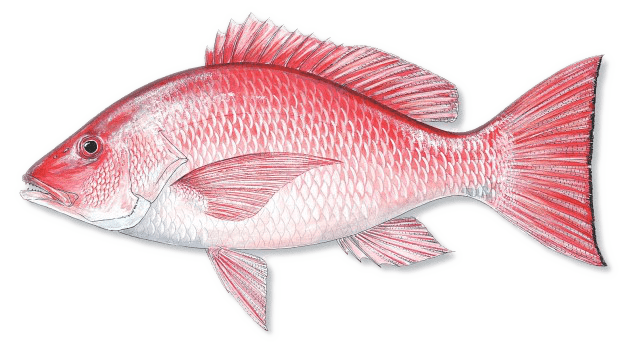 American-RED-SNAPPER.png