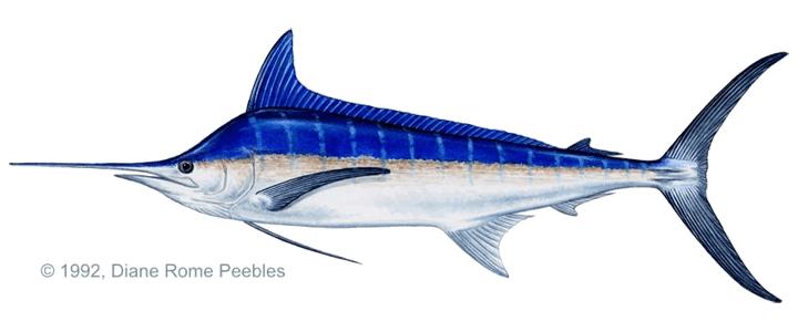 Fish_Blue_Marlin.png