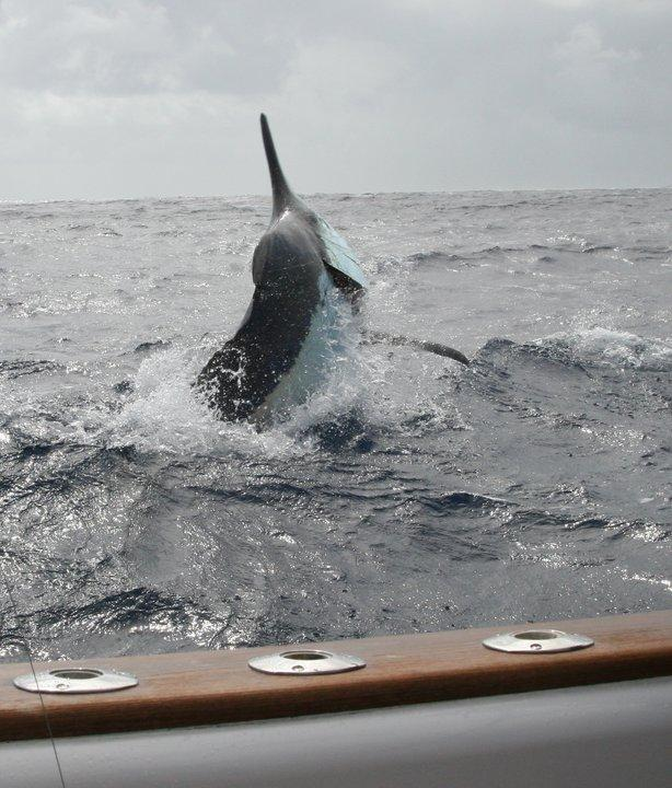 Black Marlin in your face