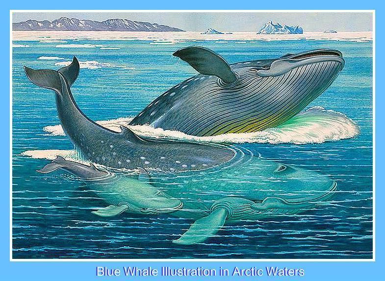 Ballena azul enmarcada 750 pxls VT