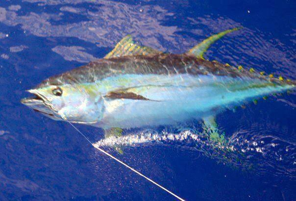yellowfin-and-the-gaff